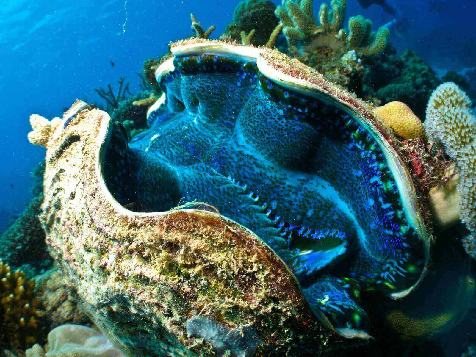 giant-clam great barrier reef