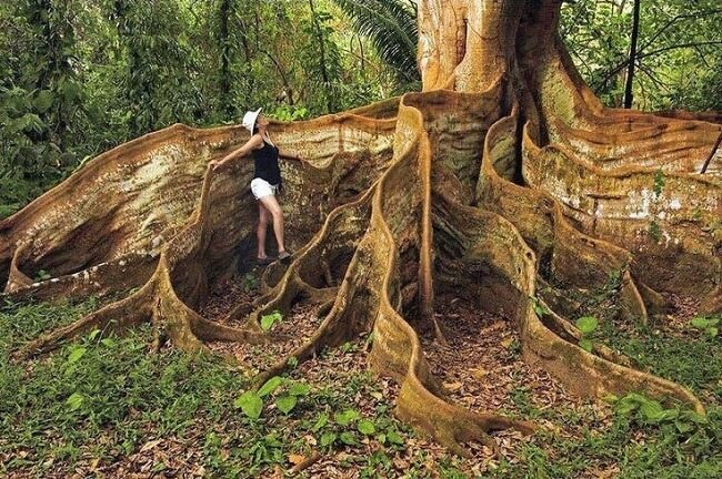 tree-insaneroots-costa-rica